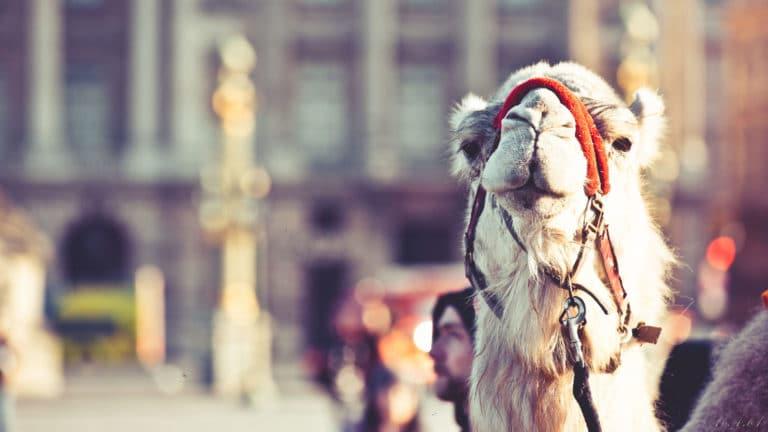 dromadaire place de la concorde obélisque de Luxor Paris France insolite teaser video le serment d'alcazar agence wato we are the oracle evenementiel events